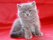 Британские и шотландские плюшевые котята, вязка