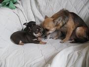 Bысокопородные щенки чихуахуа