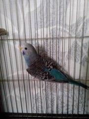 Продам волнистых попугайчиков голубого окраса