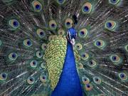 Павлины,  фазаны,  голуби