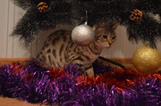 Продам бенгальскую кошечку,  здоровую,  активную,  веселую.