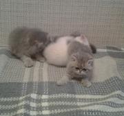 Красивые экзотические котята!